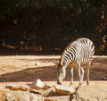Free Zebra Grazing Royalty Free Stock Image - 24353796