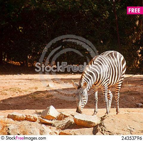 Free Zebra Grazing Royalty Free Stock Image - 24353796