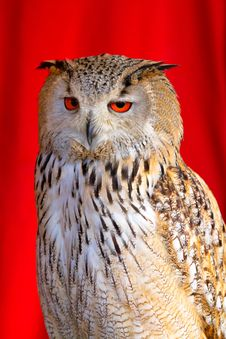 Free Eurasian Eagle-Owl Royalty Free Stock Image - 24352136