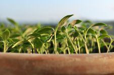 Free Seedlings In Clay Pot Stock Images - 24356854
