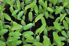 Free Seedlings Stock Photography - 24356862
