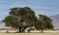 Scimitar Horned Oryx &x28;Oryx Dammah&x29; Stock Photo