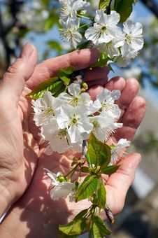 Branch Of Blossoming Sweet Cherry Stock Photos