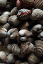 Free A Bunch Of Clam Royalty Free Stock Photo - 24365675