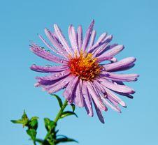 Free Purple Daisy. Stock Photography - 24367482