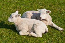 Free Lambs Stock Photos - 24369473