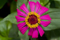 Free Pink Zinnia Royalty Free Stock Images - 24371479