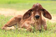 Free Calf Are Resting Royalty Free Stock Photos - 24373358