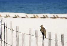 Free Beach Dove Royalty Free Stock Photography - 24373517