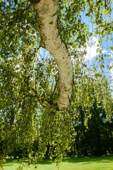 Free Tree Of Birch With Leafs Against Spring Blue Sky Royalty Free Stock Photography - 24379697