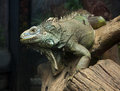 Free Big Iguana On The Dried Tree Royalty Free Stock Photos - 24389278