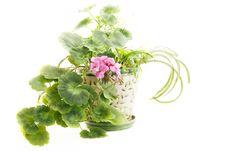 Free Blooming Geranium Royalty Free Stock Photo - 24382225