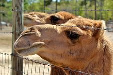 Free Camel Stock Photos - 24382403