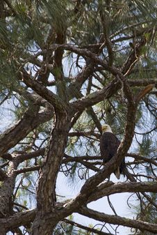Bald Eagle - Homosassa Springs Royalty Free Stock Image