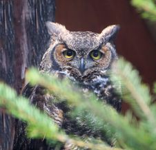 Free Great Horned Owl &x28;Bubo Virginianus&x29; Stock Photo - 24389120