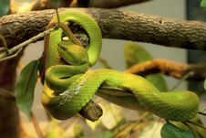 Green Snake After Sloughed Off Royalty Free Stock Images