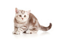 Free A Playful Kitten. British Breed. Marmor. Stock Photography - 24395582