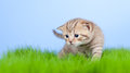 Free Little Tabby Kitten Scottish On Grass Stock Images - 24395674