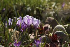 Lilac Crocuses And Thunder Plants In Rock Garden. Stock Photos