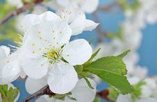 Free Cherry Tree Blossom Royalty Free Stock Photography - 24393627