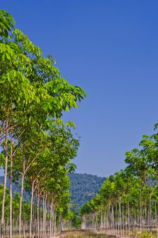 Free Rows Of Rubber Trees. Stock Photography - 24394512