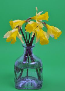 Narcissus Pseudonarcissus &x28;daffodil&x29; Royalty Free Stock Image