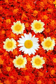 White And Yellow Daisies With French Marigold Royalty Free Stock Photos