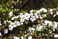 Free Spring Become With Sakura Stock Photo - 2444110