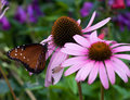 Free Viceroy Butterfly Royalty Free Stock Photos - 2446498