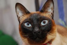 Free Siamese Cat Royalty Free Stock Photo - 2440645