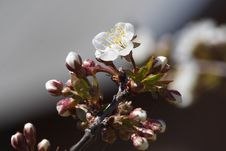 Free Cherry-blossom Stock Photography - 2440742