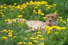 Free Cheetah Stock Image - 2440791