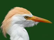 Crested Egret Royalty Free Stock Photography