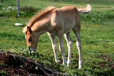 Free Foal Royalty Free Stock Image - 2441226