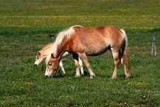 Horses Eating Grass Stock Image