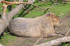 Free Capybara Stock Photography - 2441662