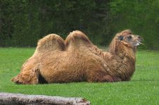 Free Bactrian Camel Royalty Free Stock Images - 2441759