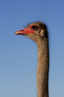 Ostrich Male Side On Stock Photography