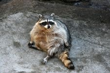 Free Raccoon Stock Photo - 2442850