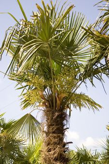 Free Beautiful Palm Tree Royalty Free Stock Photography - 2443147