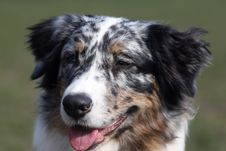 Free Australian SHeppard Portrait Stock Photography - 2443522