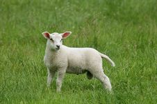 Free Lamb Royalty Free Stock Photo - 2443645