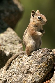Chipmunk On The Rocks Standing Stock Photography