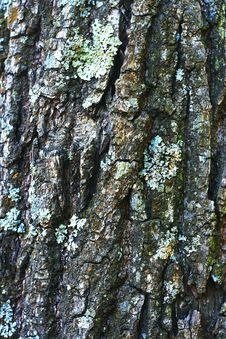 Free Tree Bark Texture Royalty Free Stock Photos - 2444148