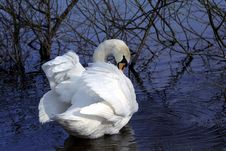 Free Swan Stock Photography - 2444392
