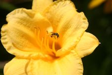 Free Bee And Flower Stock Images - 2445834