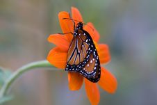 Free Monarch Butterfly Stock Photography - 2446492
