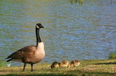 Free Mother Goose Stock Photo - 2446660