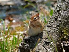 Free Siberian Chipmunk Stock Photo - 2447580