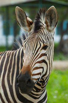 Free Zebra Royalty Free Stock Photography - 2447737